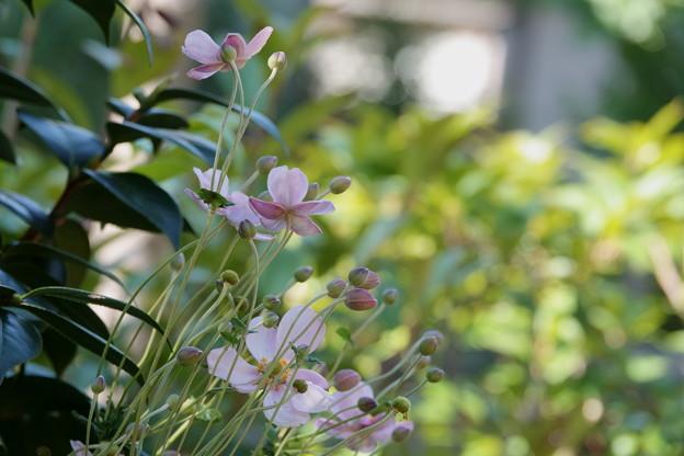 秋明菊 ピンク