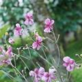 Photos: シュウメイギク ピンク