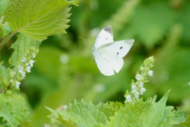 モンシロチョウの飛翔(1)