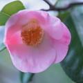 金沢ツバキ 西王母が開花