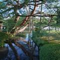 Photos: 曲水と松