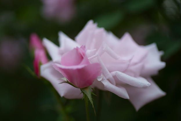 秋バラ 桜貝