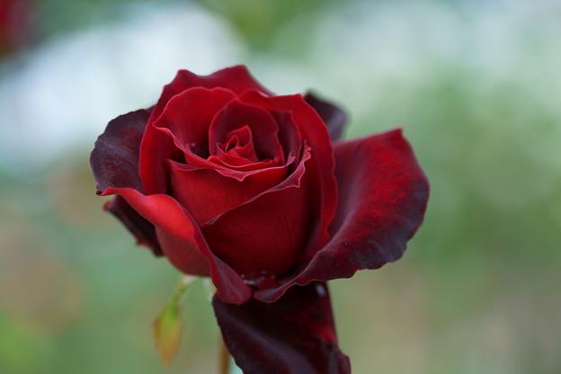 秋バラ ベルサイユのバラ