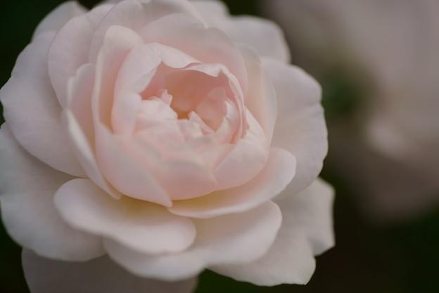秋バラ 花ぼんぼり