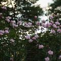 Photos: 秋バラ