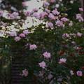 Photos: バラ園