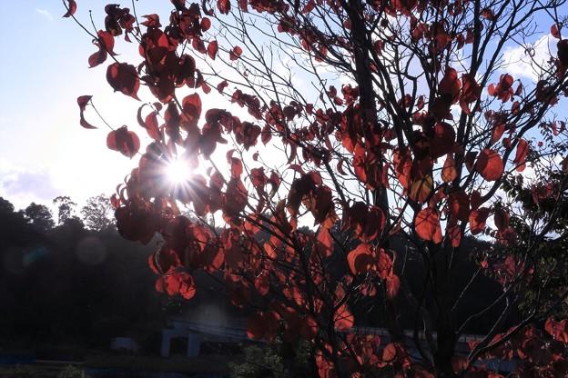 ハナミズキと太陽