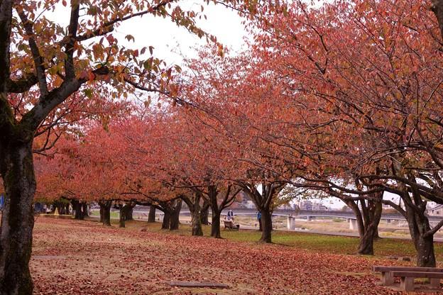 Photos: 桜並木の紅葉(1)