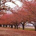桜並木の紅葉(1)