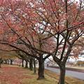 桜並木の紅葉(2)
