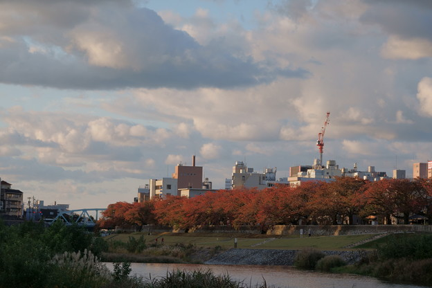 Photos: 犀川の桜並木 紅葉