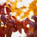 Photos: ハナミズキの紅葉