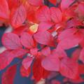 Photos: ブルーベリーの紅葉