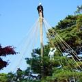 松の木の雪吊り(2)