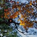 松とモミジの紅葉
