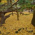 兼六園 銀杏の絨毯