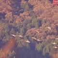 Photos: オナガガモの飛翔  紅葉を背景に