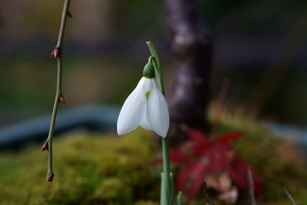 スノードロップが開花 もみじの一葉