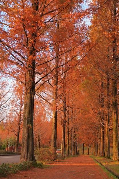 メタセコイア の並木道