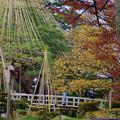 Photos: 旭桜の黄葉と雪吊り
