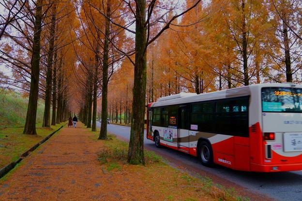 メタセコイアの並木道 バス