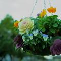 Photos: 葉牡丹とビオラ