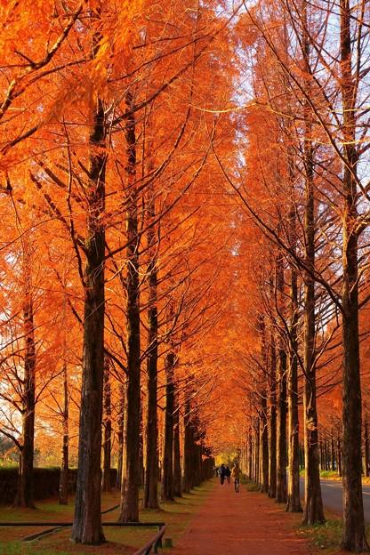 メタセコイアの並木道