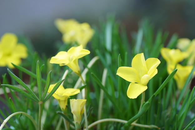 黄色いオキザリス