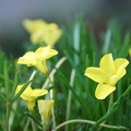 Photos: 黄色いオキザリス