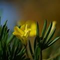 黄色いオキザリス 手のような葉