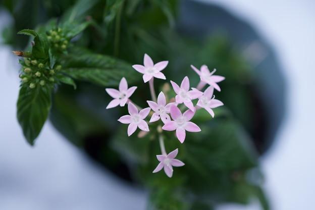 冬のペンタス  ☆ピンクの星☆