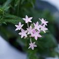 Photos: 冬のペンタス  ☆ピンクの星☆