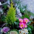 Photos: ハボタン、プリムラ、ゴールドクレストの寄せ植え