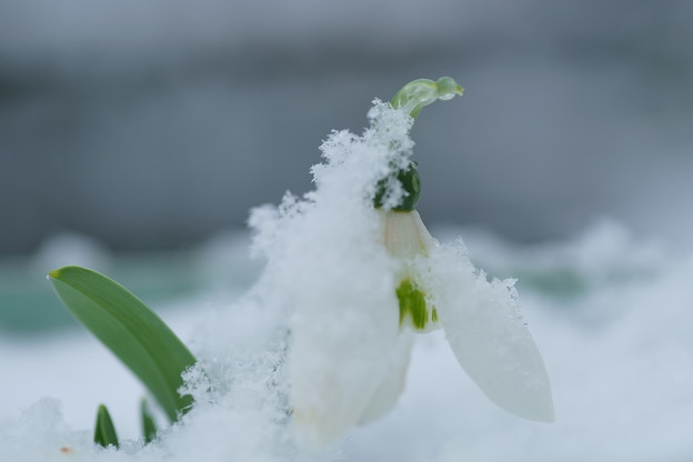 Photos: 雪ぼうし