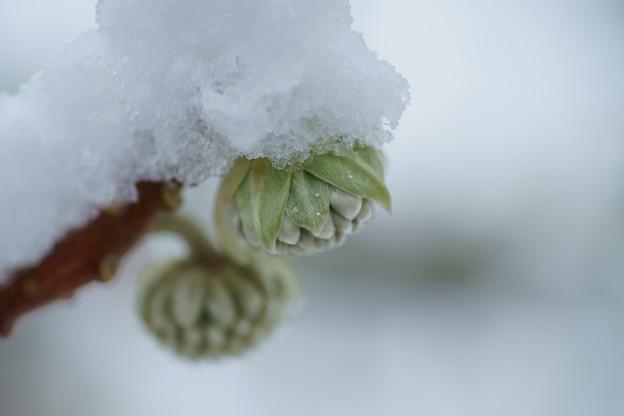 Photos: ミツマタの蕾 雪帽子 (´∀`*)。o○