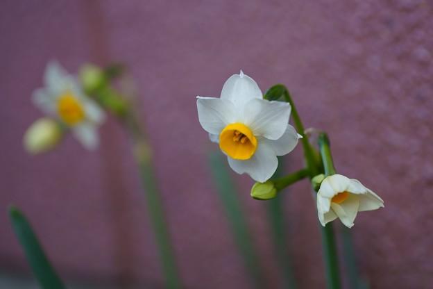 水仙 が開花