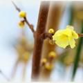 ロウバイが開花