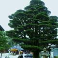 願掛けの五葉松  護国神社(1)