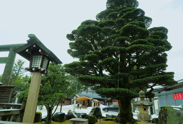 願掛けの五葉松  護国神社(2)