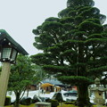Photos: 願掛けの五葉松  護国神社(2)