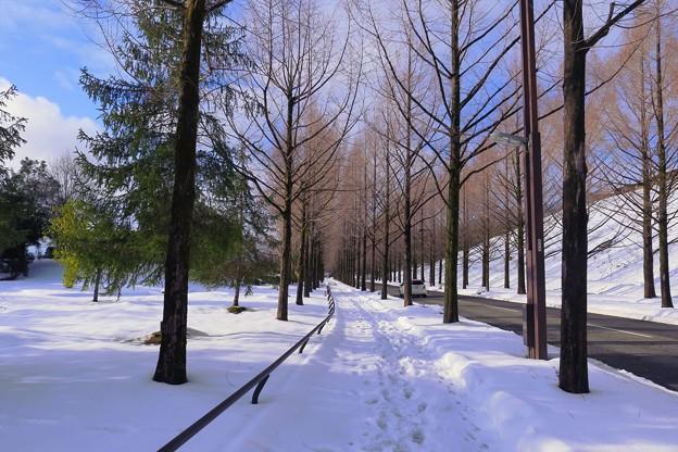 メタセコイア(2)    雪