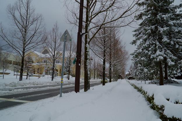 メタセコイア 雪