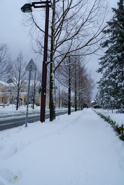 メタセコイア 雪(3)