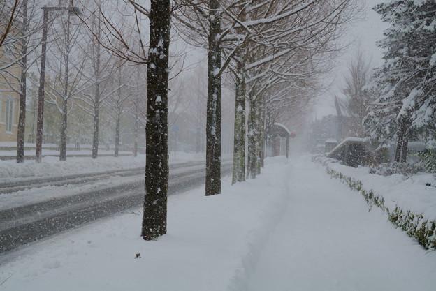 雪が舞う.  メタセコイア(4)