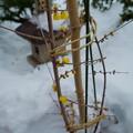 ロウバイと雪