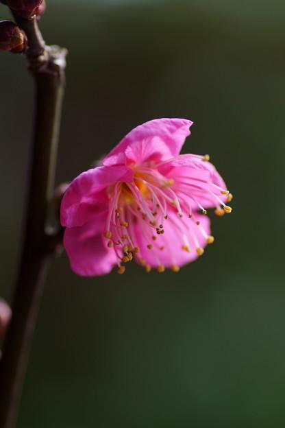 紅梅が開花(1)