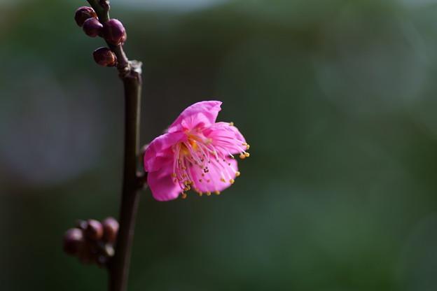 紅梅が開花(2)