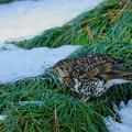 Photos: トラツグミ 雪(2)