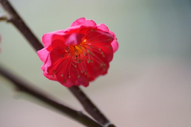 鹿児島紅梅が開花