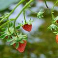 鉢植えのイチゴ